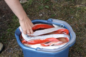 Chohla Moll grabs some sockeye salmon out of the brine mixture so she can hang it in the smoker.