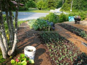 Some of the garden beds at Down To Earth u-pick garden in July