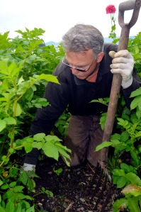 (Photo courtesy of Klas Stolpe/Juneau Empire) Bill Ehlers, assistant gardener of the Jensen-Olson Arboretum in Juneau, tends to a Tlingít potato plant on July 27, 2009. The potatoes will be used as seed stock to be distrbuted to people interested in growing the variety.