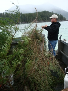 Michael Baines prepares hemlock trees and branches before they are placed in the water to catch herring spawn (Photo taken by Ed Ronco of KCAW-Raven Radio)