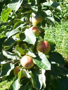 A cluster of Parkland apples (photo from the Alaska Pioneer Fruit Growers Association gallery, http://www.apfga.org/)