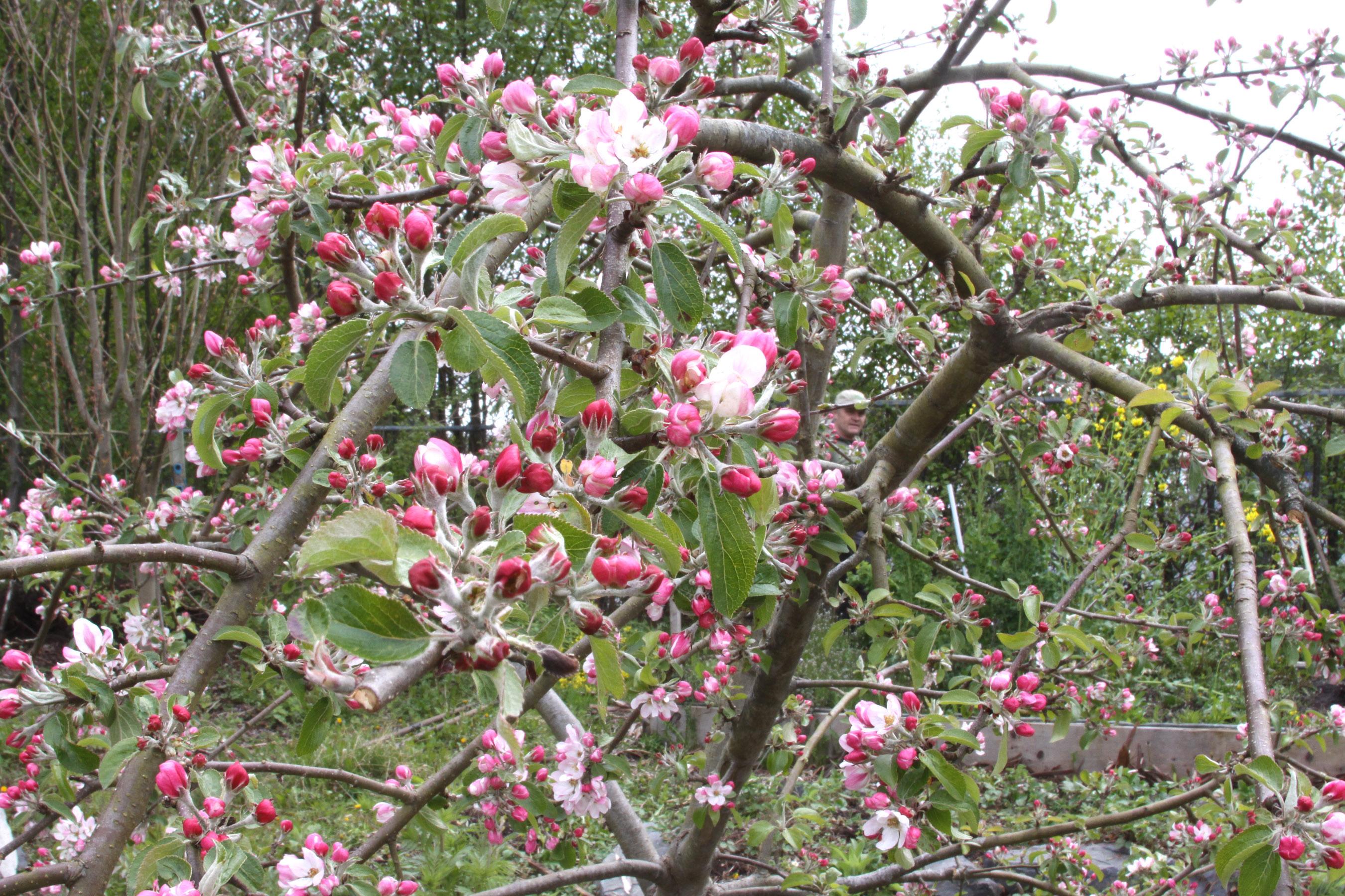 Fruit Trees In Bloom The Produce Nerd