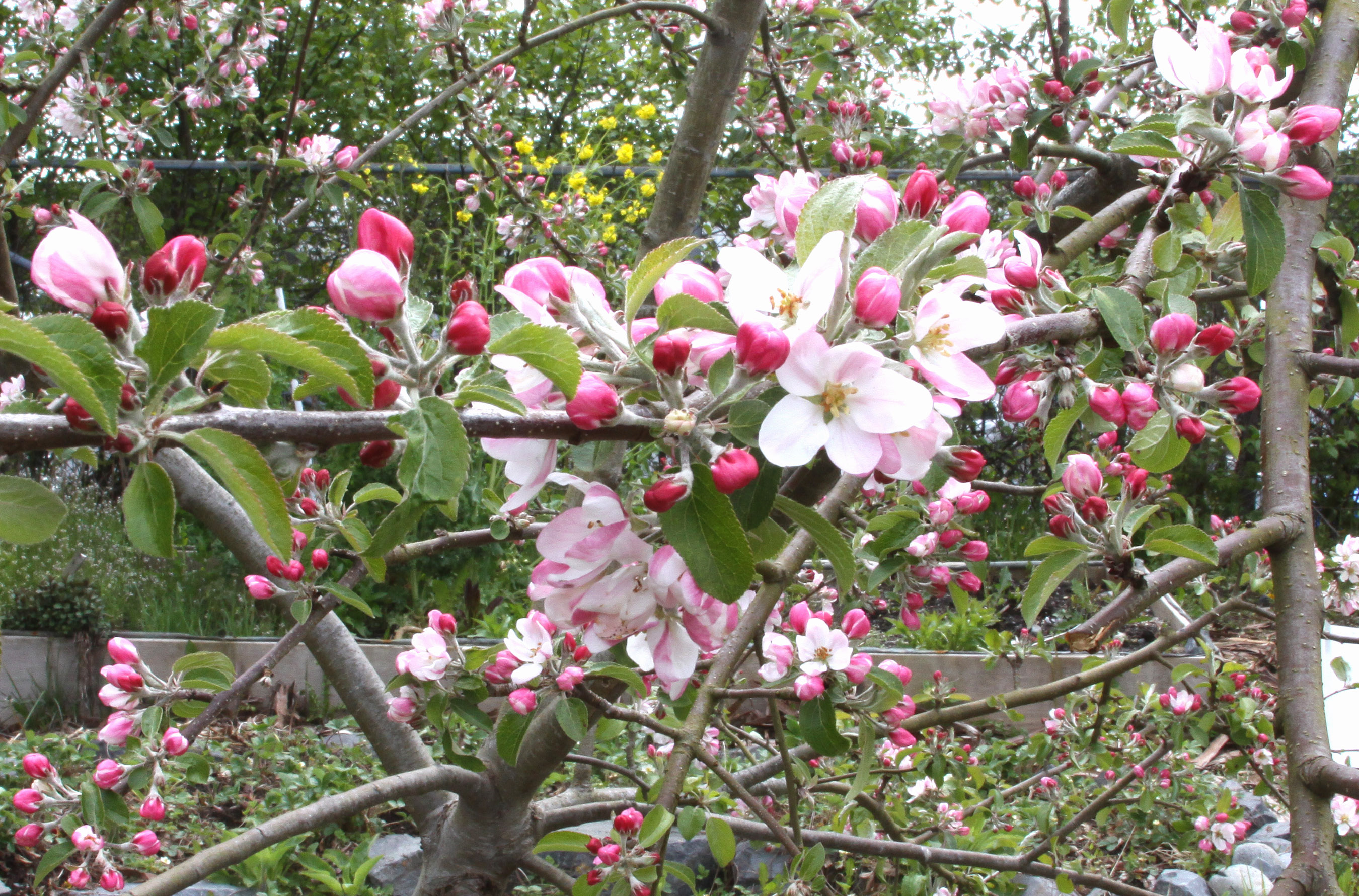 Crabapple Trees Sitka Local Foods Network
