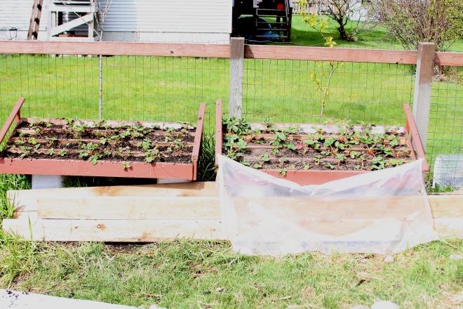 New strawberry planters