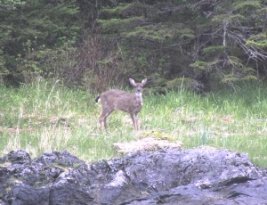 A Sitka black-tailed deer feeds on one of the barrier islands near Sitka