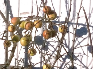 Apples are still on the tree in front of a house on Sawmill Creek Road in early December 2010.