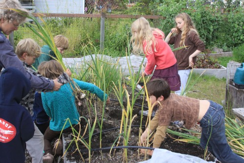 A group of kids harvests garlic during an Aug. 12, 2011, work party at St. Peter's Fellowship Farm.