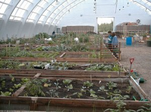 This is the inside of a community greenhouse built above the Arctic Circle in Inuvik, Northwest Territories, Canada, that has been one of the models for the Sitka Community Greenhouse and Education Center (Photo from http://www.cityfarmer.org/inuvik.html).