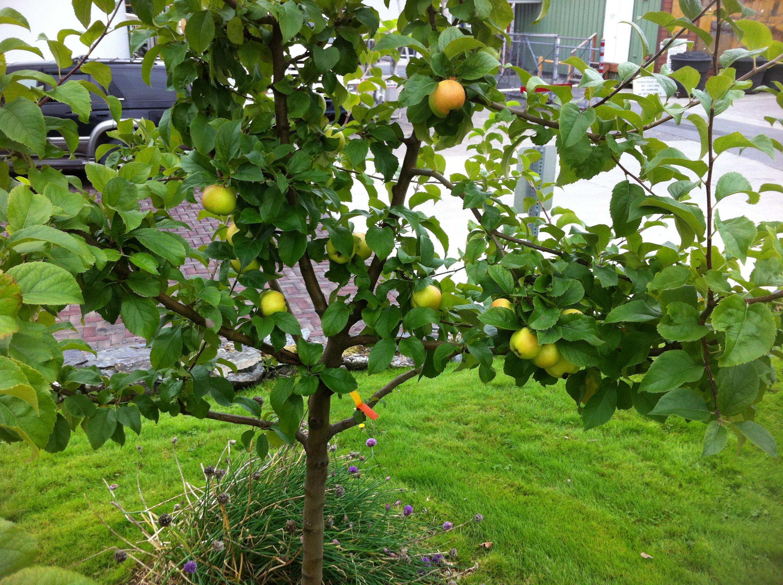 Как вырастить яблоню из семечка в домашних условиях видео 28