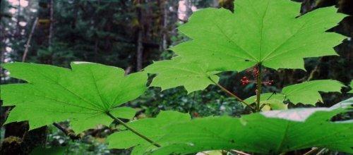 Devils-Club__SE-Alaska1