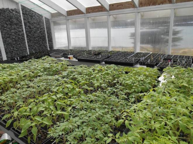 Spring 2014 plant starts in Sitka gardener Keith Nyitray's Finn Island Farm greenhouse.