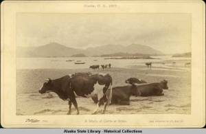 Sitka cattle on the beach in 1887 (Photo courtesy of Alaska State Library Historical Collections)