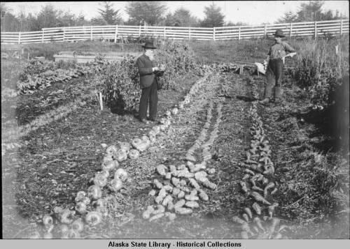 The 1900 potato harvest in the Sitka garden of Gov. John G. Brady. (Photo courtesy of Alaska State Library Historical Collections)
