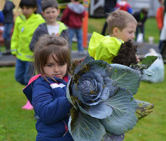 CABBAGE PATCH KIDS- Baranof Elementary School first-grader Alice Ann Ricketts, 6, carries a cabbage out of the Russian Bishop's House garden Friday, Sept. 11, 2015. First-graders were harvesting the vegetables they planted last spring when they were kindergartners during the annual event. Teachers and students were planning on making a soup with their harvested vegetables. (Daily Sitka Sentinel Photo by James Poulson)