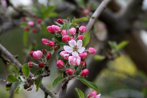 CherryBlossomsBlatchleyCommunityGarden